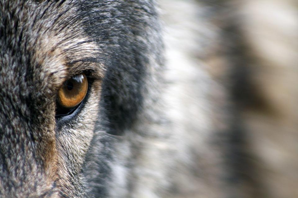 Для именинника, картинки взгляд волка